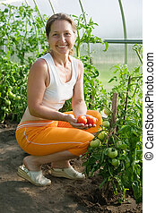 woman is picking of tomato - Senior woman is picking of...