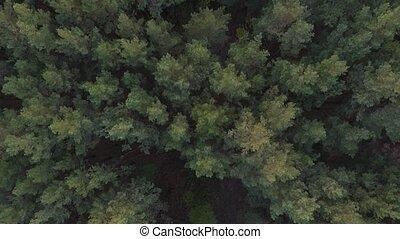 Aerial drone shot over the autumn coniferous deciduous forest. 4K