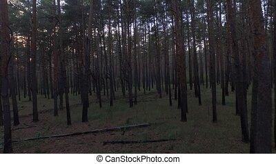 Aerial drone shot across the autumn coniferous deciduous forest. 4K