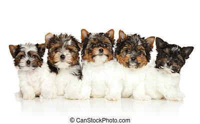 Group of Biewer Yorkie puppies on white background