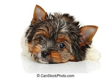 Biewer York puppy - Close-up of Biewer York puppy on white...