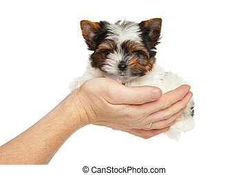 Biewer York puppy in hand - Biewer Yorkshire Terrier puppy...