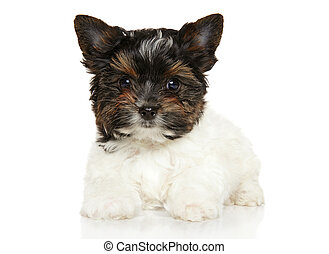 Close-up of Biewer York puppy in front of white background