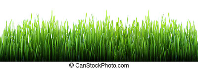 Long grass - Green grass panorama isolated on white...