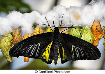Butterfly and cocoons - Tropical butterfly (Troides...