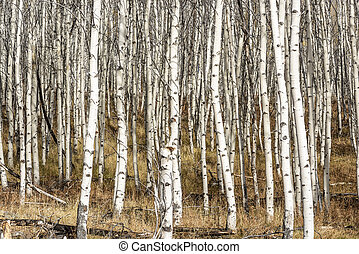 Aspen grove in the late fall with white bark - Many small...