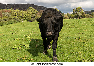 Menacing black cow or bullock coming to camera - Black cow...