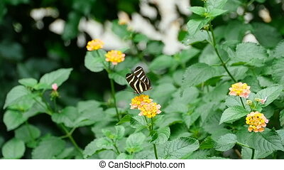 Tropical butterfly eats nectar on a flower, slow motion