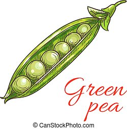 Green pea pod vegetable sketch icon - Green pea vegetable...