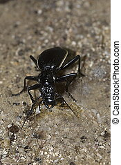 Burrowing Ground beetle passalidius fortipes