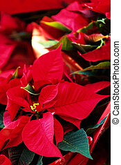 Beautiful red christmas flower poinsettia as Christmas...