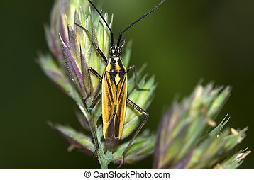 meadow plant bug (Leptopterna dolobrata) on a blade of grass...