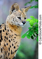 Serval cat (Felis serval) walking in the natural environment