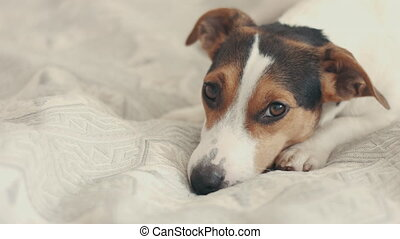 small dog breed the Jack Russell Terrier lays on the bed and...