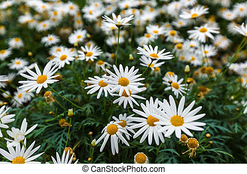 Chamomile flowers - floral background - Chamomile flowers -...