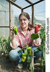 girl picking green pepper in the hothouse - young woman is...