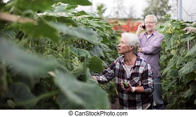 old woman picking cucumbers up at farm greenhouse - farming,...