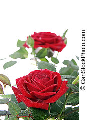 roses - closeup of a rosebush with two roses isolated on a...