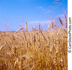 Grain field - Yellow grain field ready for harvest Ukraine...