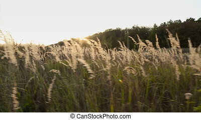 grass on sunset sky background - grass close-up on a...