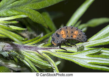 nymph of the Asian lady beetle (Coccinella) - nymph of the...