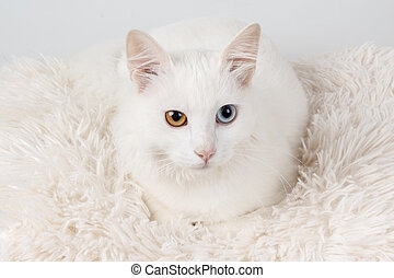 White odd-eyed cat - White cat with different colored eyes....