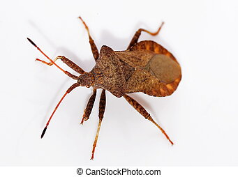 reddish-brown squashbug (Gonocerus acuteangulatus)