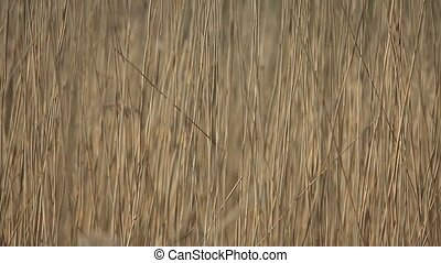 swaying abstract background - Live yellow wall of reed...