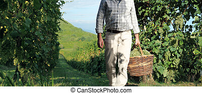 Grapes harvest, Winemaker in vineyard