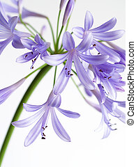 Agapanthus  bloom on white  background