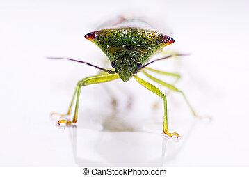 hawthorn shield bug Acanthosoma haemorrhoidale