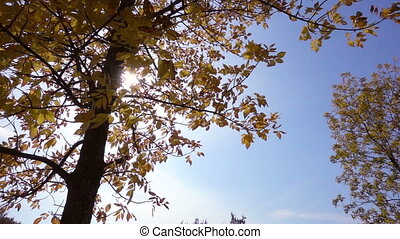 Tree with golden leaves against sun and blue sky, slow motion