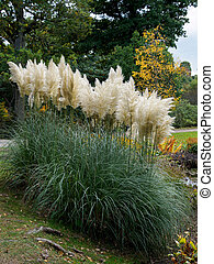 Pampas Grass in full bloom