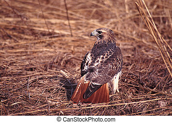 Red-tailed Hawk Buteo jamaicensis - A Red-tailed Hawk Buteo...