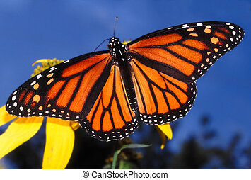 Monarch Butterfly (Danaus plexippus) at Deer Run Forest...