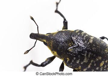 Weevil larinus sturnus