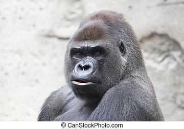 Gorilla - Portrait of a beautiful gorilla silver back...