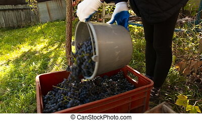 Woman pours a bucket of grapes