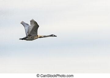 Mute swan cygnet in flight with catch light - Mute swan...