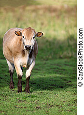 Brown Jersey Cow in a grassy field - Brown Jersey Cow...