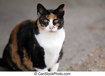 Calico Cat Looking - Calico cat looking at camera.