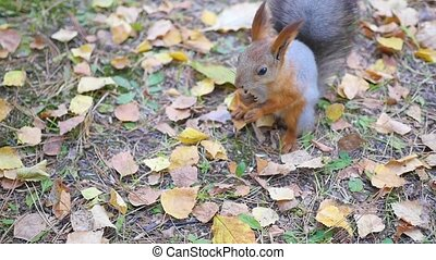 beautiful squirrel eating nuts in the Park