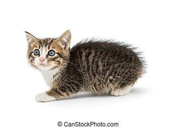 Little kitten with blue eyes - Little fluffy kitten with big...