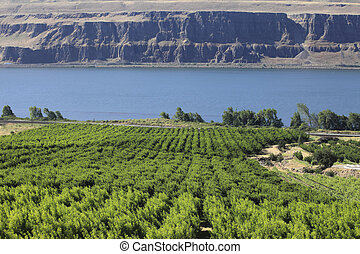 Grape orchards. - Grape orchards along the Columbia river in...