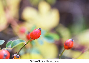 Red brier berries in autumn in Moldova, shallow focus close...