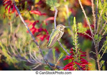 Anna's Hummingbird - Calypte anna - Anna's Hummingbird...