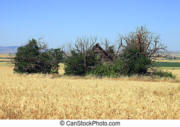 Wheat fields and old shack. - An old shack and brushes are...