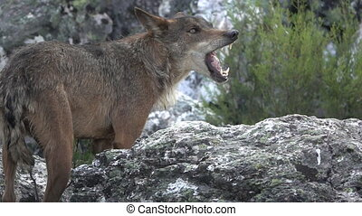 Slow motion of wolf eating over rocks - Side view of wolf...