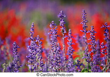 Lavender - Close-up of lavenders at a park