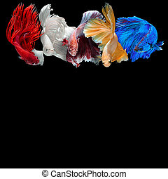 Betta fish - colorful Betta fish background with copy space...